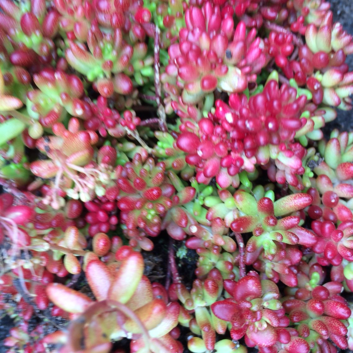 Sedum album 39 coral carpet 39 planta juni 2015 i steintrappa a a 39 one off 39 treasures hoyas - Sedum album coral carpet ...