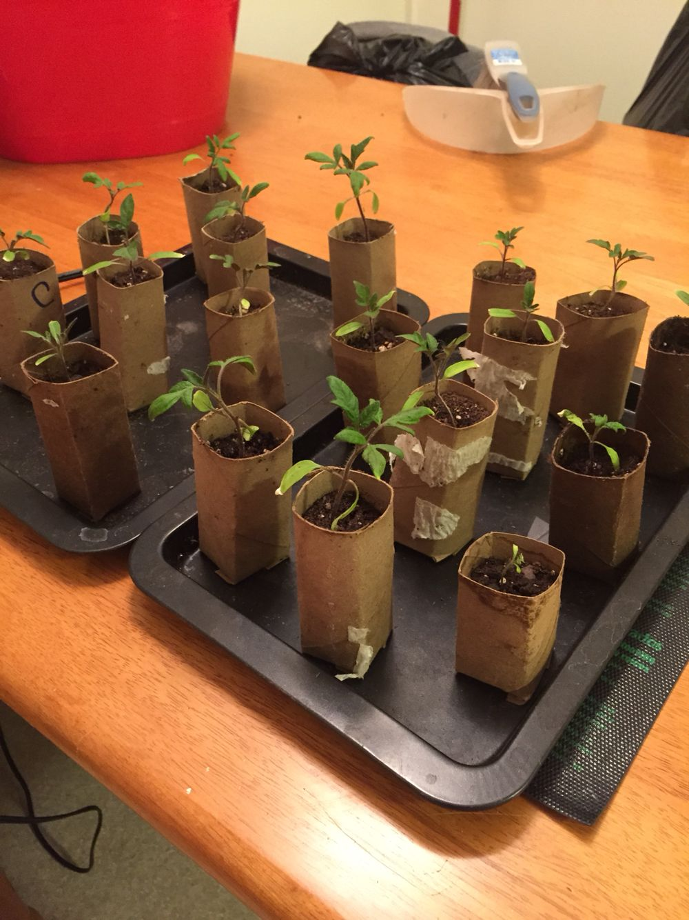 Tomato starts for my garden. Used toilet paper rolls as ...