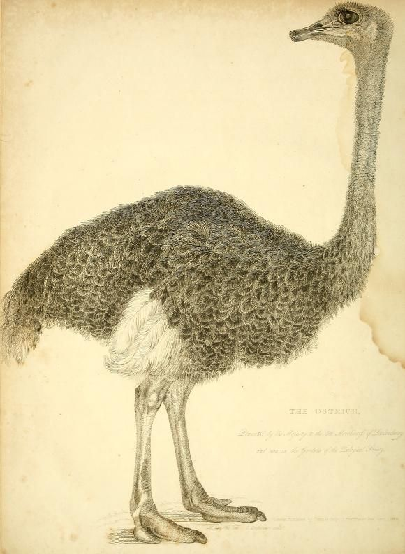 Ostrich, The Wonders of the Animal Kingdom: Exhibiting delineations of the most distinguished wild animals in the various menageries of this country, Robert Huish, 1830.
