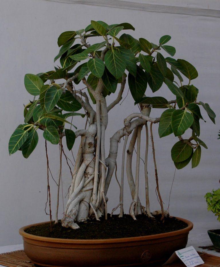 bonsai plants, images | bonsai amazing photos bonsai art bonsai gallery  bonsai images bonsai .