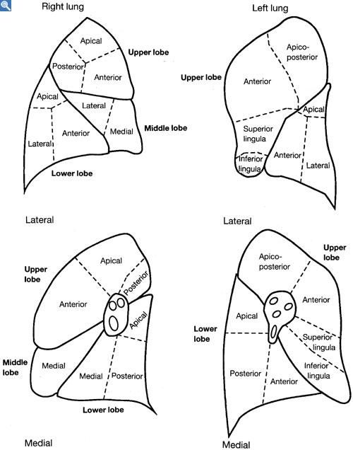 Lung Segments Rad Pinterest Lungs Radiology And Respiratory