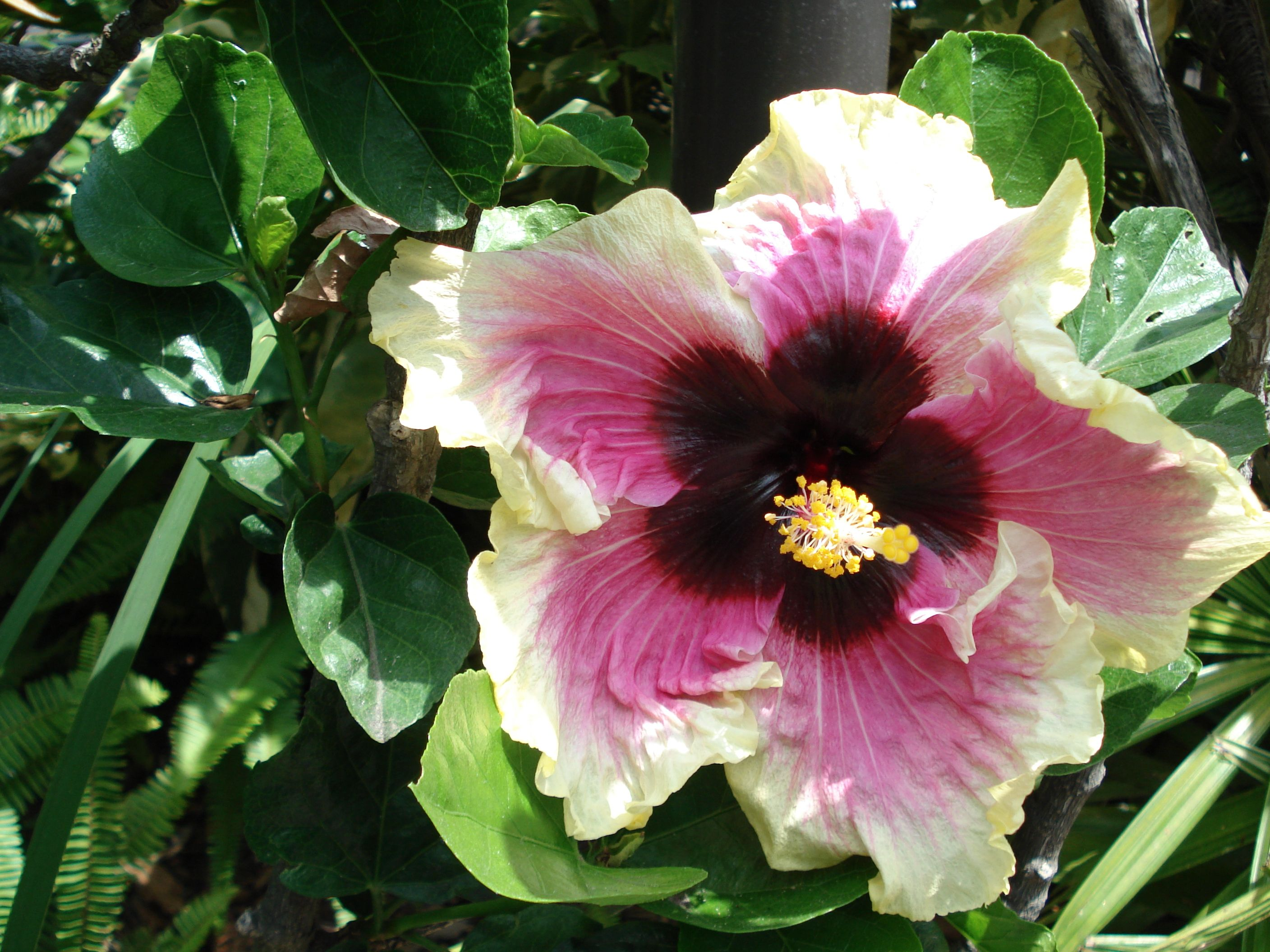 Gorgeous Huge Hibiscus Flower 2 Cute Pinterest Hibiscus