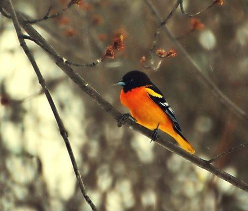 black and orange oriole bird