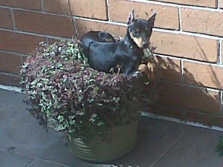 Organic Bed They Are Creative Miniature Doberman Pinscher Miniature Doberman Miniature Pinscher
