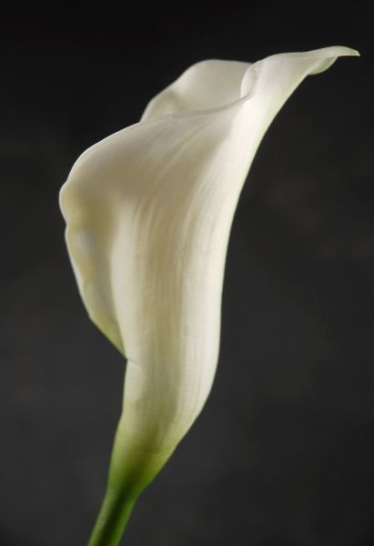 Calla Lilies With Images Calla Lily Flowers Calla Lily Lily Flower