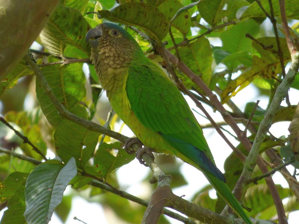 Eupsittula-pertinax-Perioico-Carisucio-Brown-throated-Parakeet-Tb.jpg (1024×768)