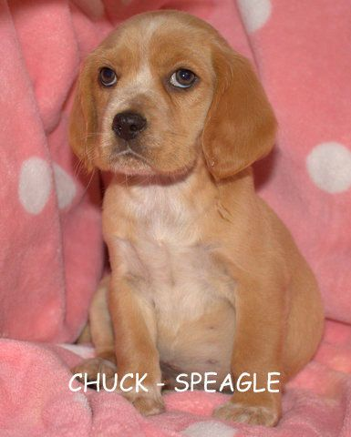 Speagle Puppies For Sale Puppies Animals