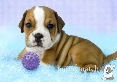 Are You Considering A Beabull Puppy Beabull Puppies Info