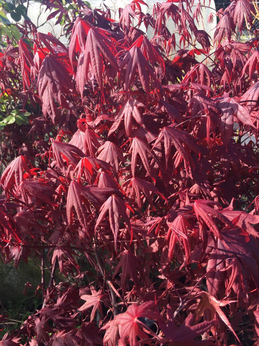 Pin By Willowburn Plants On Willowburn Plants In 2020 Shrubs Plants Tree