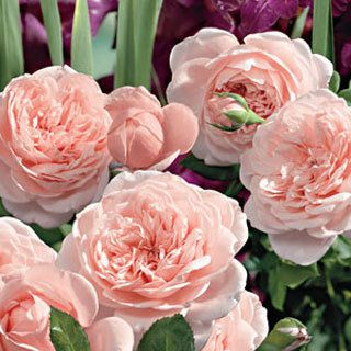 A breeding breakthrough, these fully cupped blooms boast luscious shades of apricot and pink, enhanced by a spicy perfume.