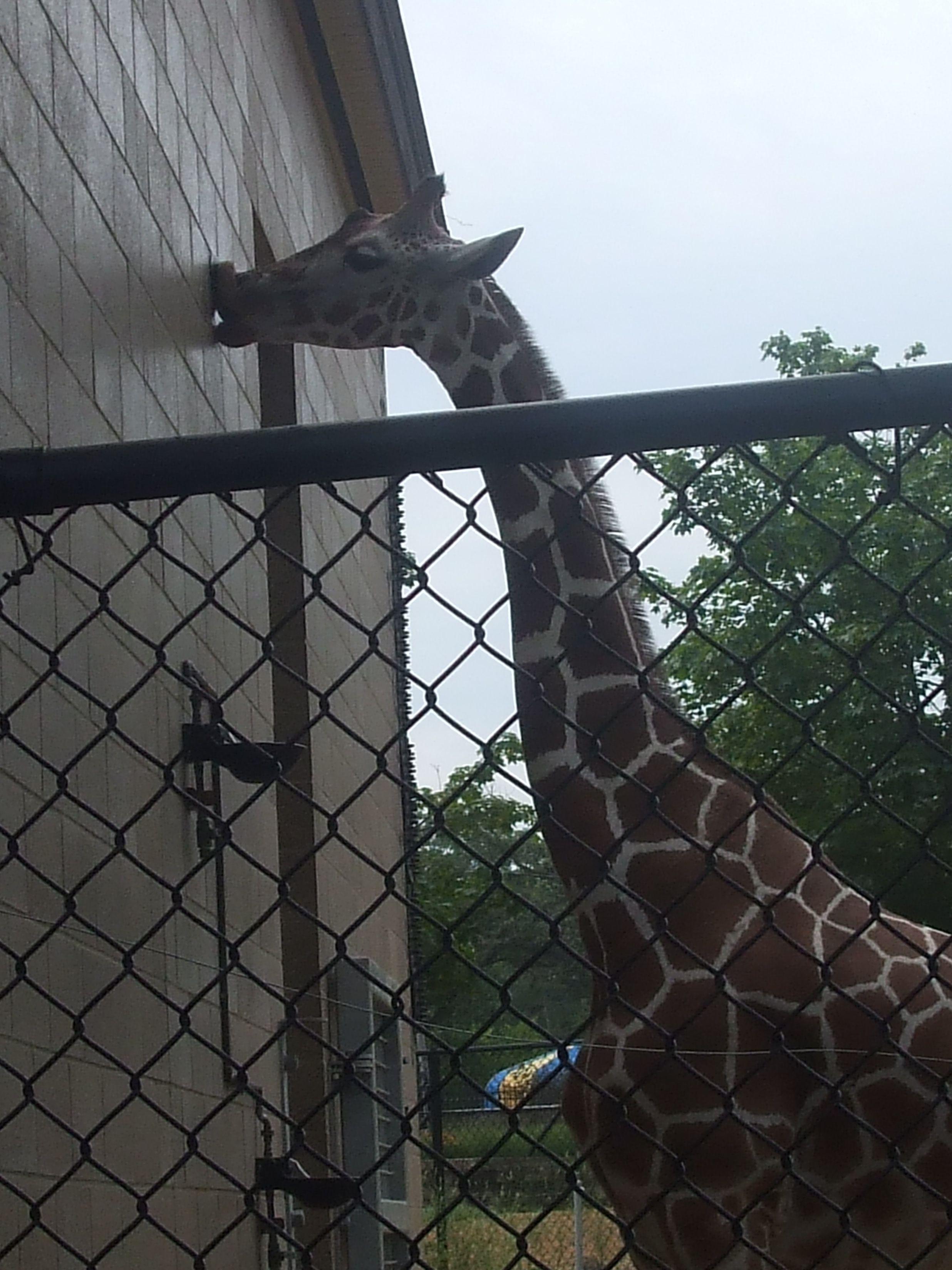 giraffe at Como Zoo