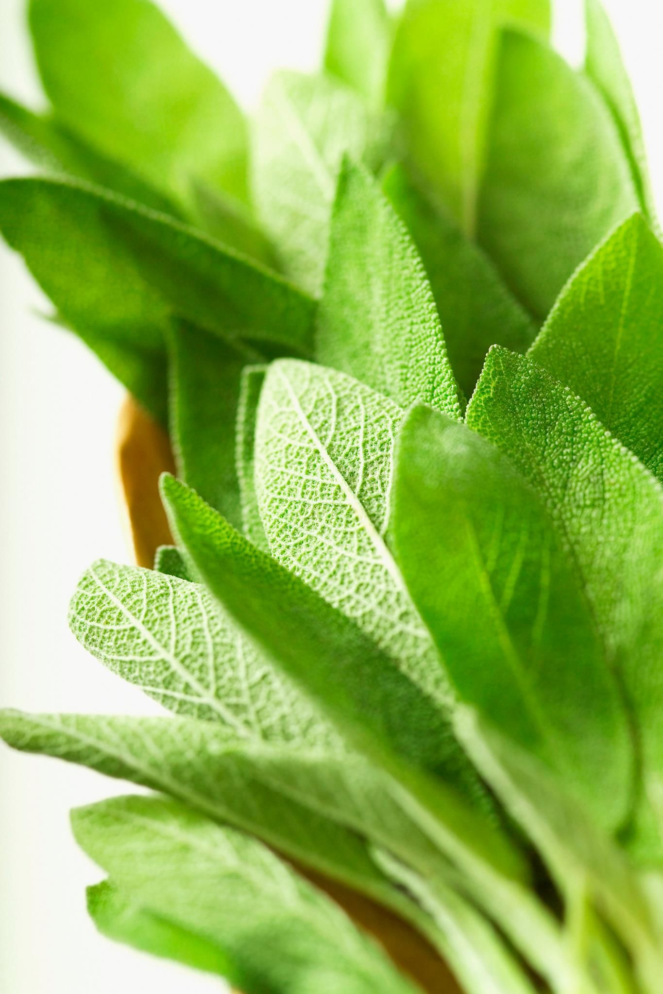 Learn about the benefits of salvia plants gardening
