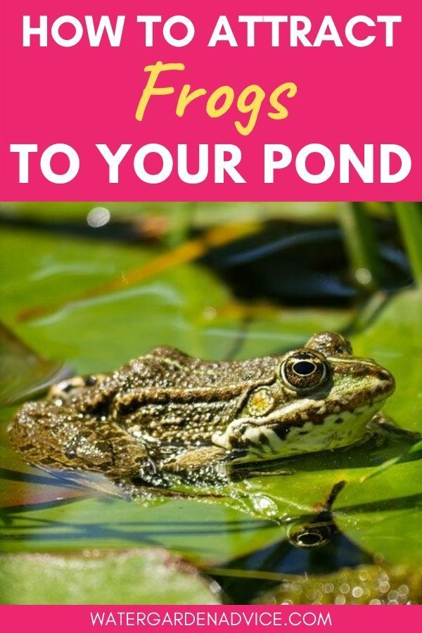 How To Attract Frogs To Your Pond in 2020 | Ponds backyard ...