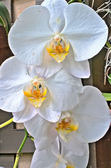 Orchids by Michael in San Diego, California, via Flickr