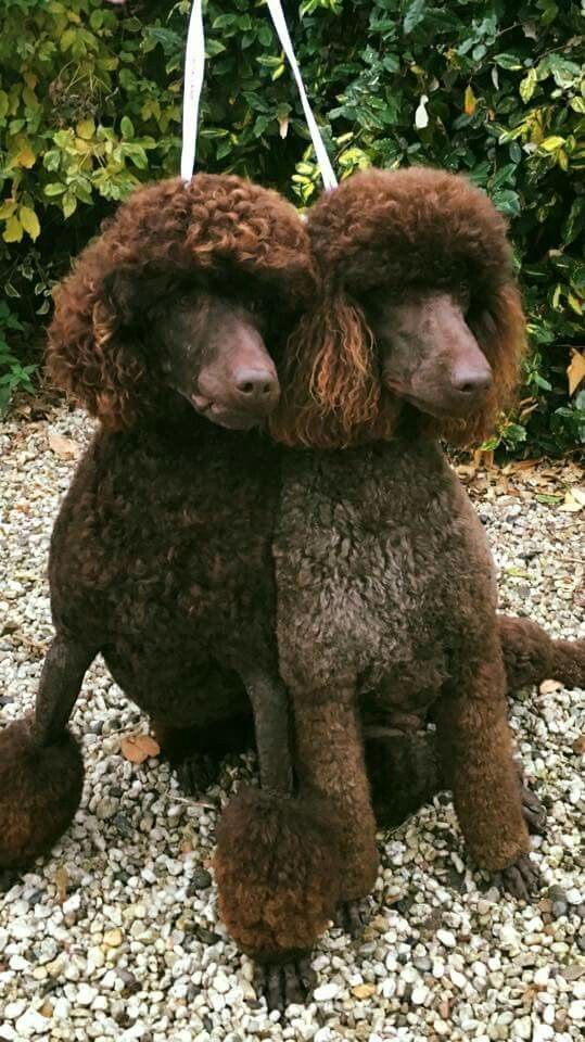 Chocolate Standard Poodles Fluffy Dogs Chocolate Poodle