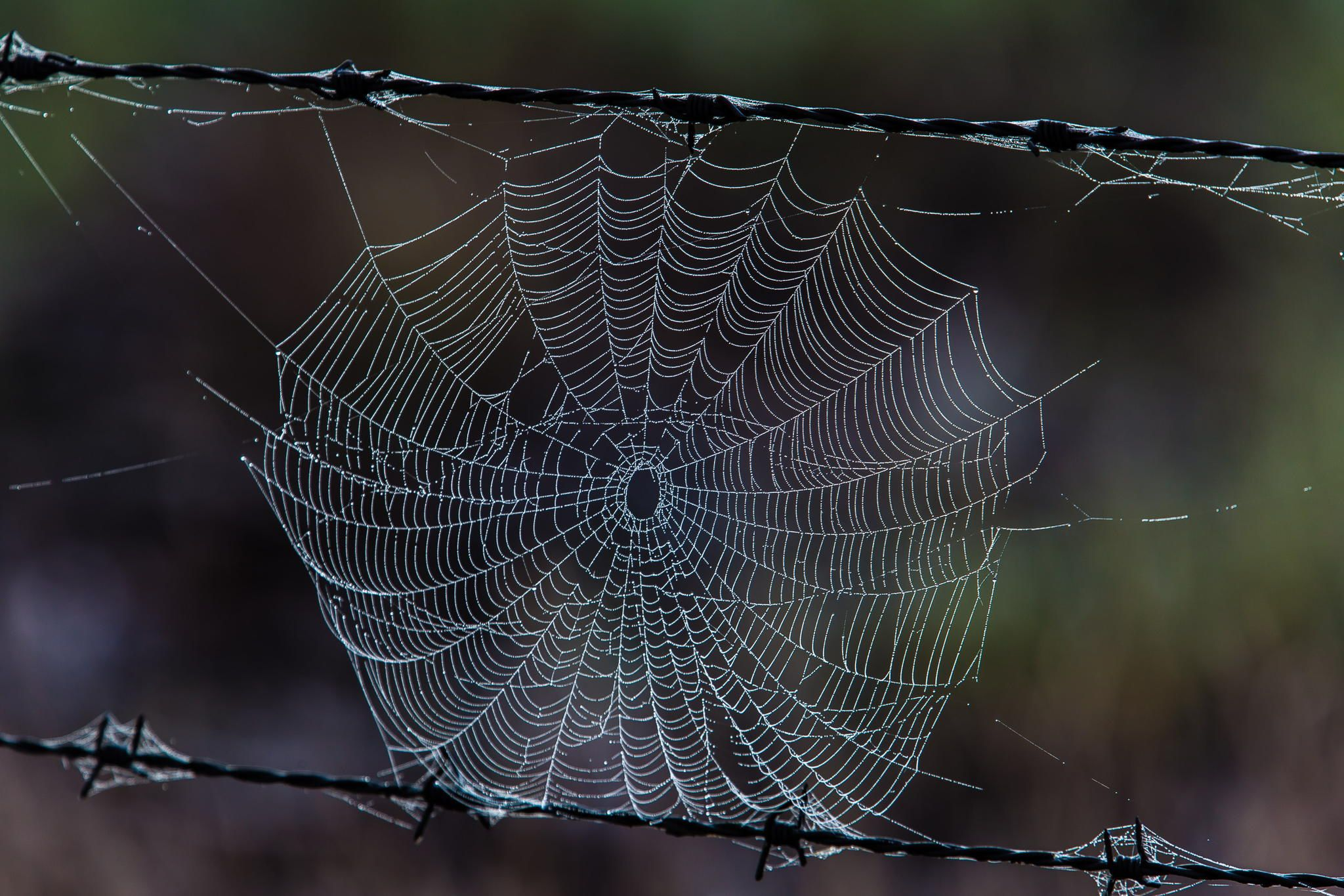 Two traps - Spider web built between two strands of barbed wire ...
