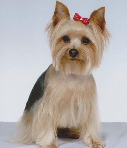 Astounding Best Yorkie Hair Cuts Best Pet Dog Yorkie Hairstyles Short Hairstyles For Black Women Fulllsitofus