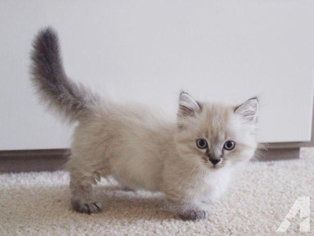Gorgeous Munchkin Kittens For Sale Americanlisted 37471633 Jpg