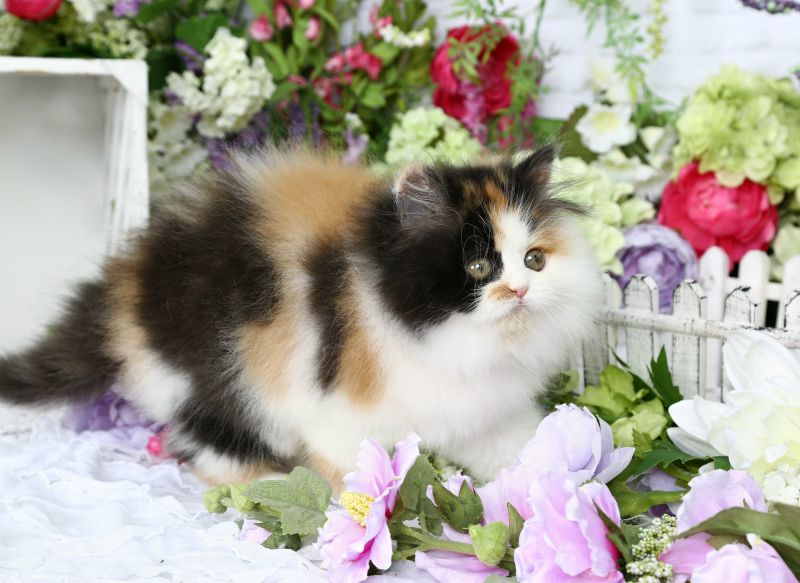 Eye Candy Traditional Calico Persian Persian Kittens Cat Furry Cute Cats