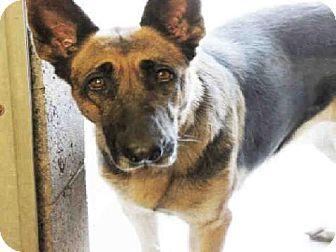 Adopt German Shepherd Rottweiler Puppy On Rottweiler Puppies