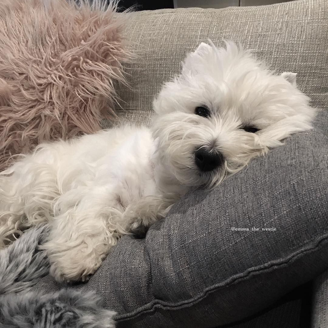 Pin By Ruth Snell On Dogs Westie Dogs Westie Puppies Cute Dogs