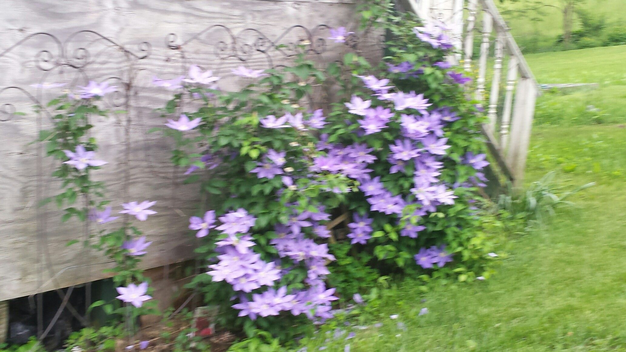 My clematis from spring 2015