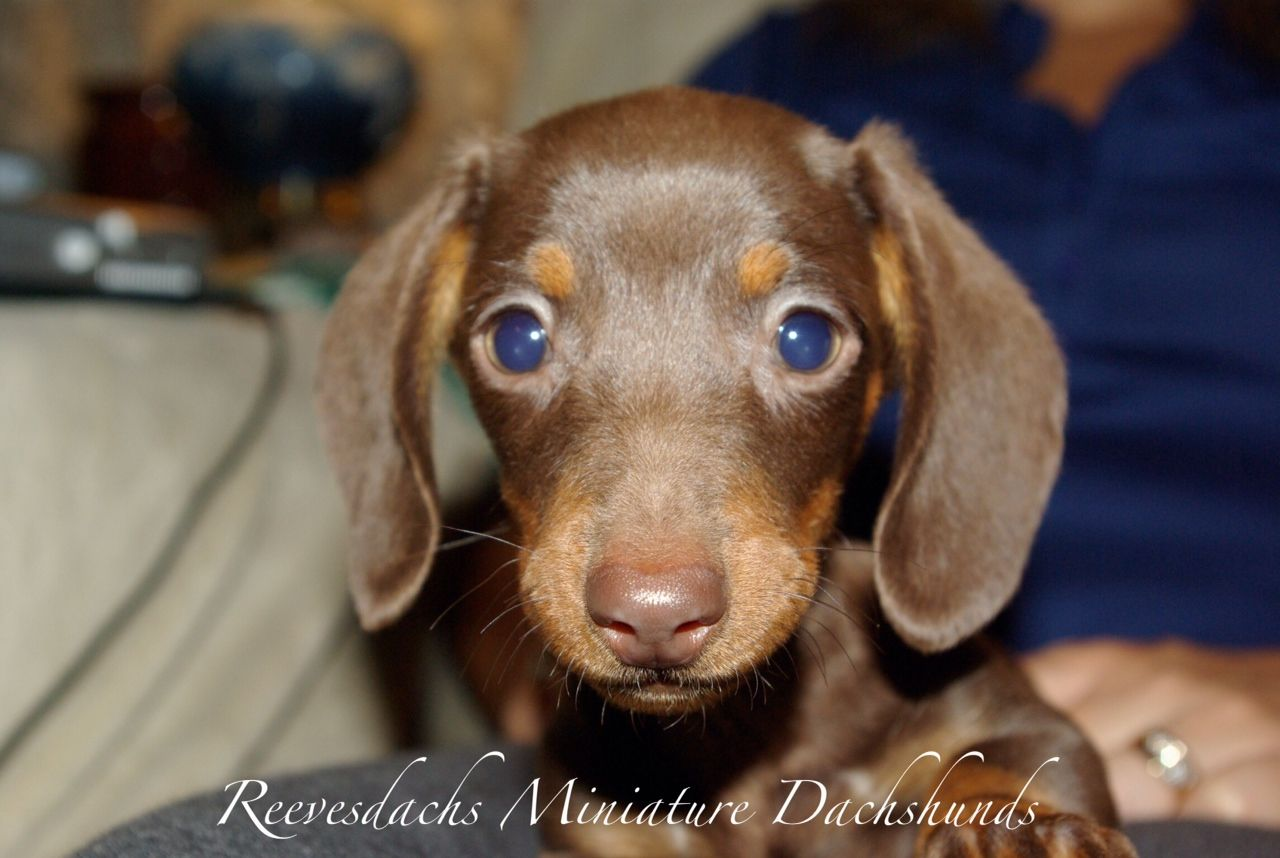 Mini Ature Dachshunds Reevesdachs Miniature Dachshunds