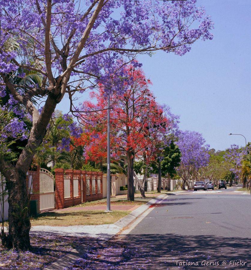 Spring In Suburbia Brisbane Street Trees Jacaranda Tree Brisbane Australia