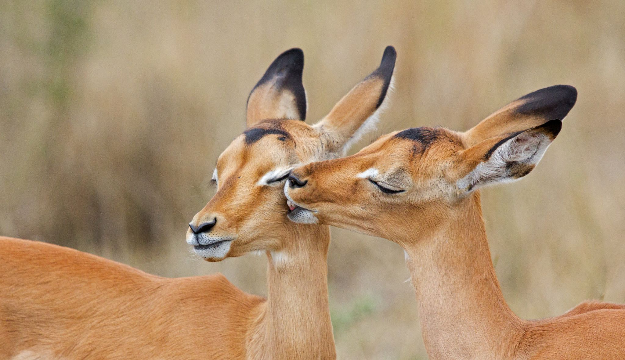 impala love by Eleanor Spies on 500px | Animals | Impala
