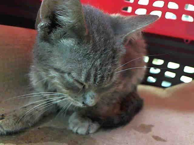 Manhattan Ny A1046193 Montgomery 6 Month Old Kitten To Adopt