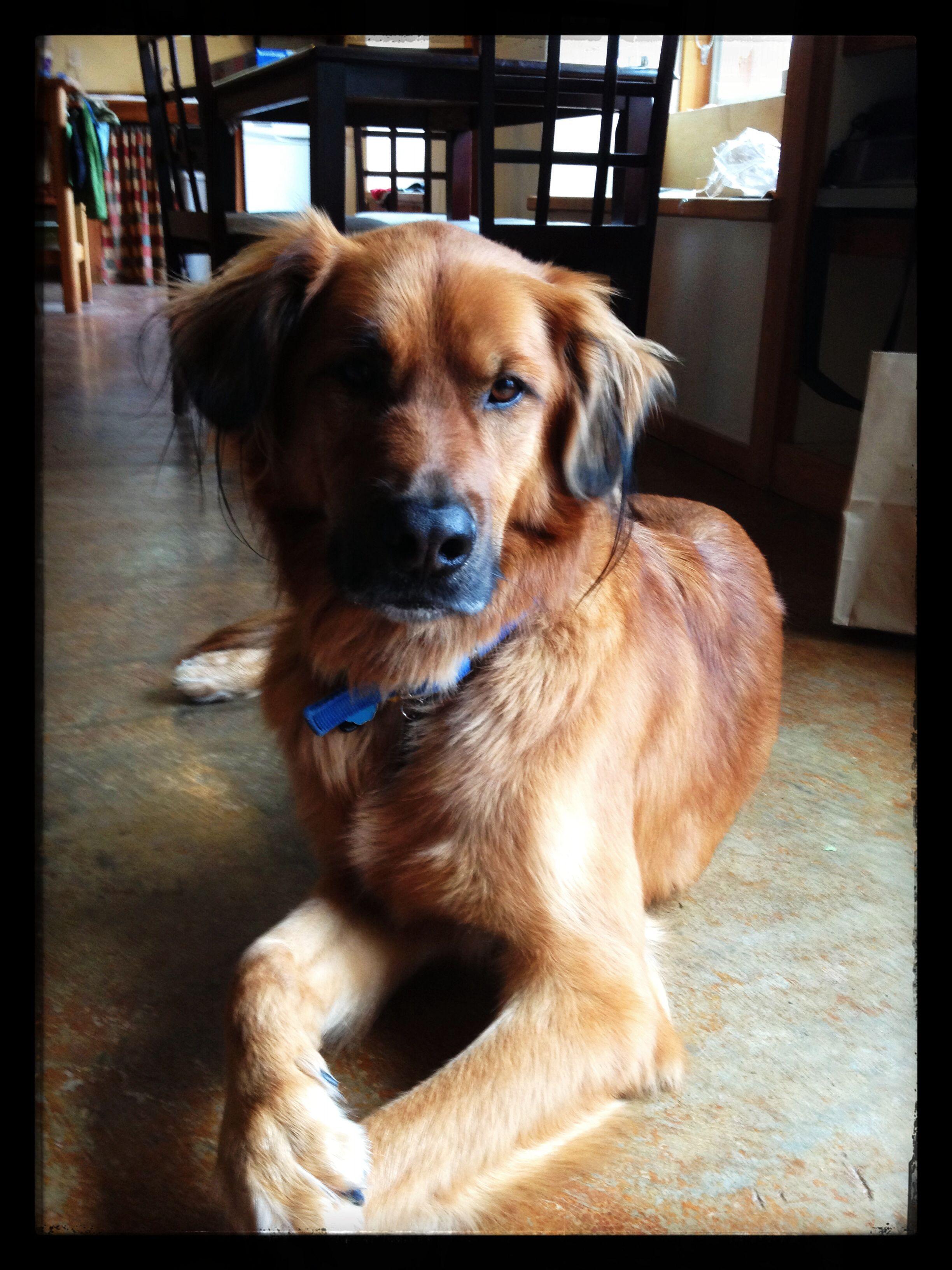 German shepherd/ golden retriever mix Dogs, Golden