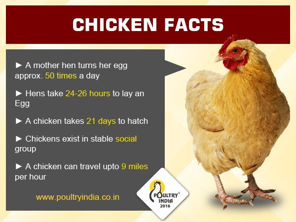 Chicken Facts Visit Us Www Poultryindia Co In Chicken Facts
