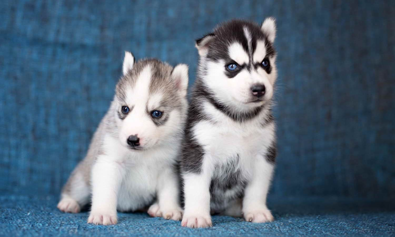 Baby Husky Cost Babyhusky Baby Huskies Dog Crying Husky