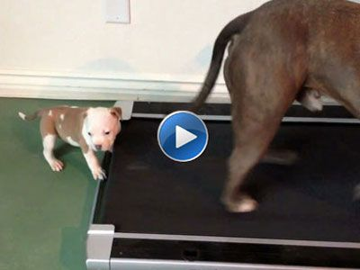 Baby Bandit And The Treadmill Dog Behavior Cute Pitbull Puppies