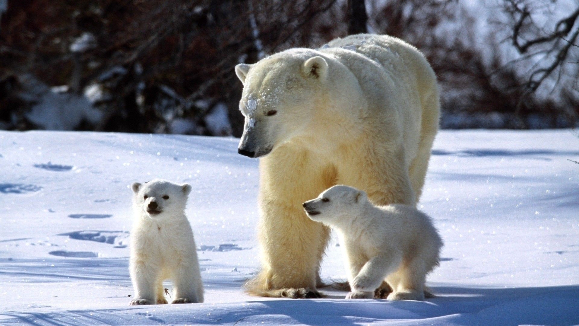 Arctic Animal Polar Bear and Babies Wallpaper HD 21 Baby