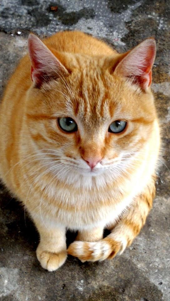 Red Hair Blue Eyes Orange Tabby Cats Orange Cats Crazy Cats