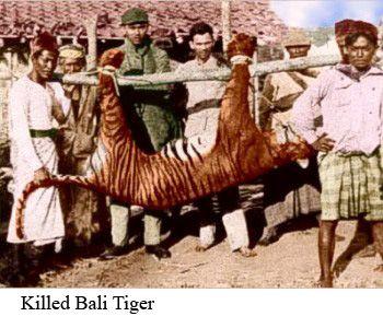 Bali tiger - Google zoeken