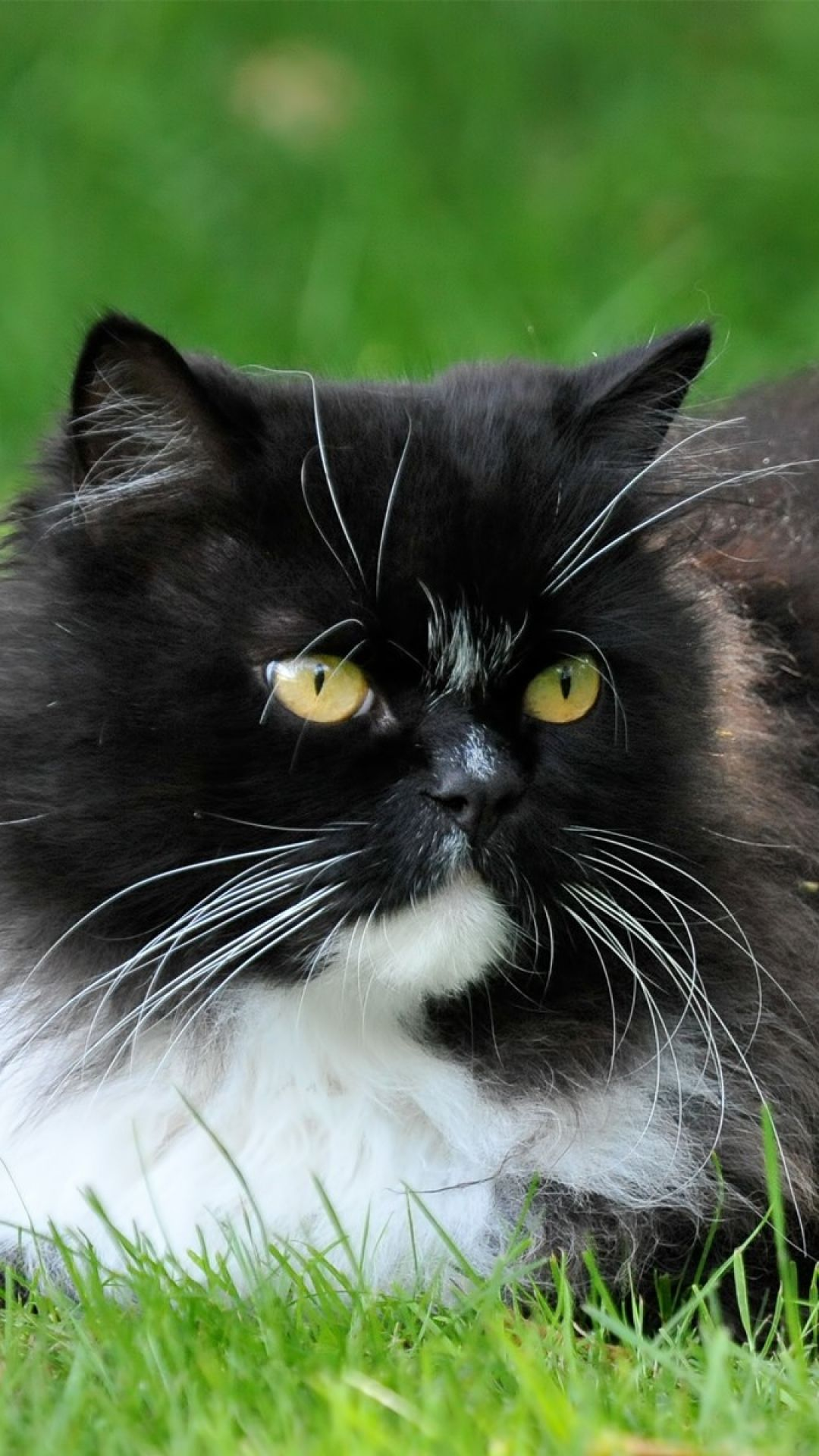 pretty black & white cat Cats, cats, Crazy cats