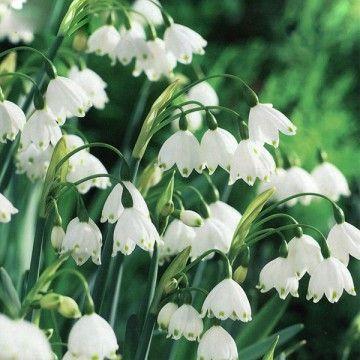 Leucojum aestivum is a perennial bulb that produces elegant white leucojum aestivum is a perennial bulb that produces elegant white bell shaped flowers mightylinksfo