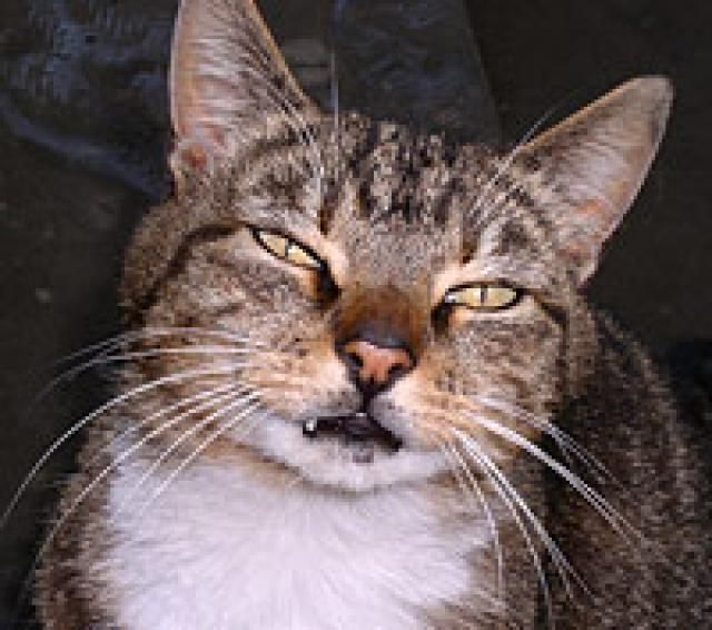 half face cat