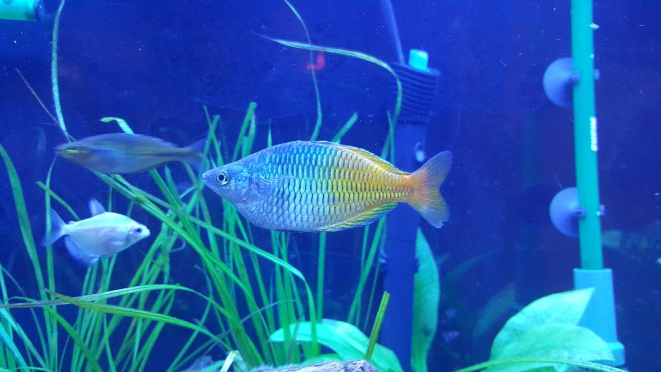 My Big Bosmani Rainbow Fish Rainbow Fish Fish Pet Fish