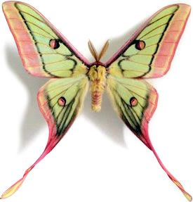 This male moon moth, Graellsia isabellae x Actias dubernardi (a hybrid), is from China/Europe