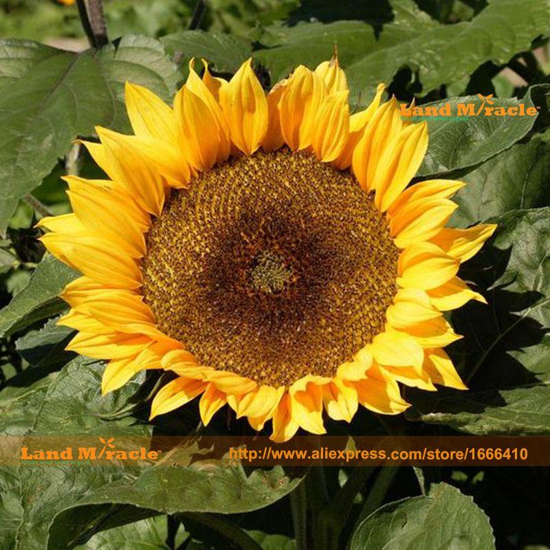 Dwarf Sunspot Sunflower Seed 20 Seeds Pack Non Gmo Edible Sunflowers Bonsai Seed Garden Ornamental Plant Land Miracle Dwarf Sunflowers Flower Seeds Sunflower