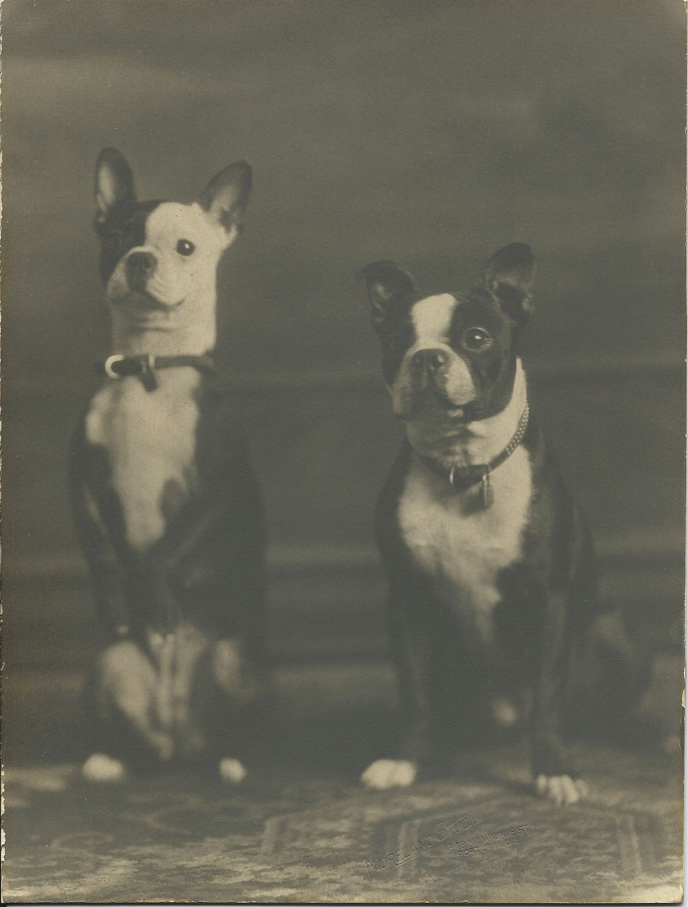 From Bendale Collection Boston Terrier Dog Boston Terrier Love Boston Terrier