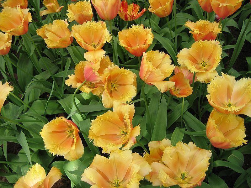 Tulipa 'Lambada'