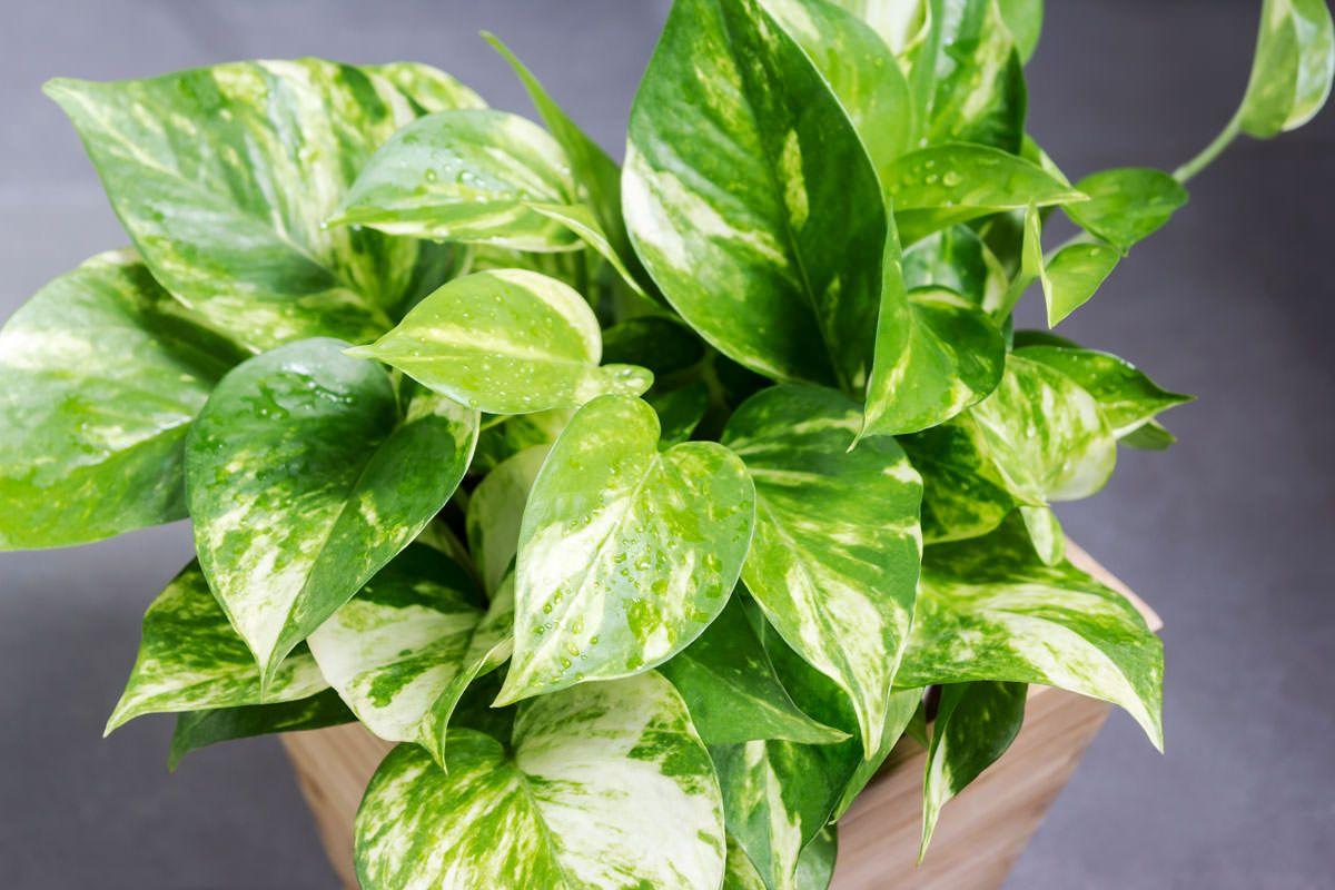 Potos, la pianta da interni con le foglie a forma di cuore ...