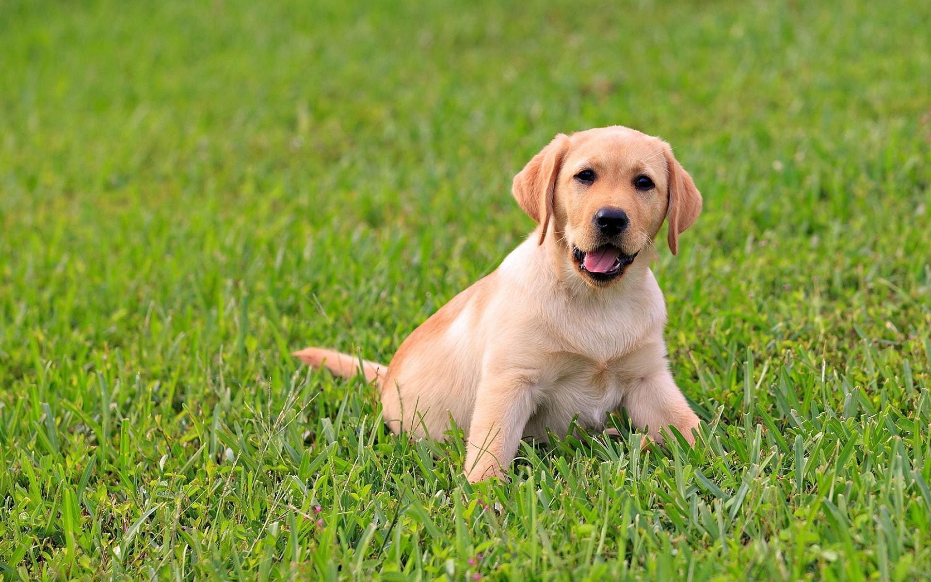 Cute Labrador Puppy We Love Labrabor Retriever