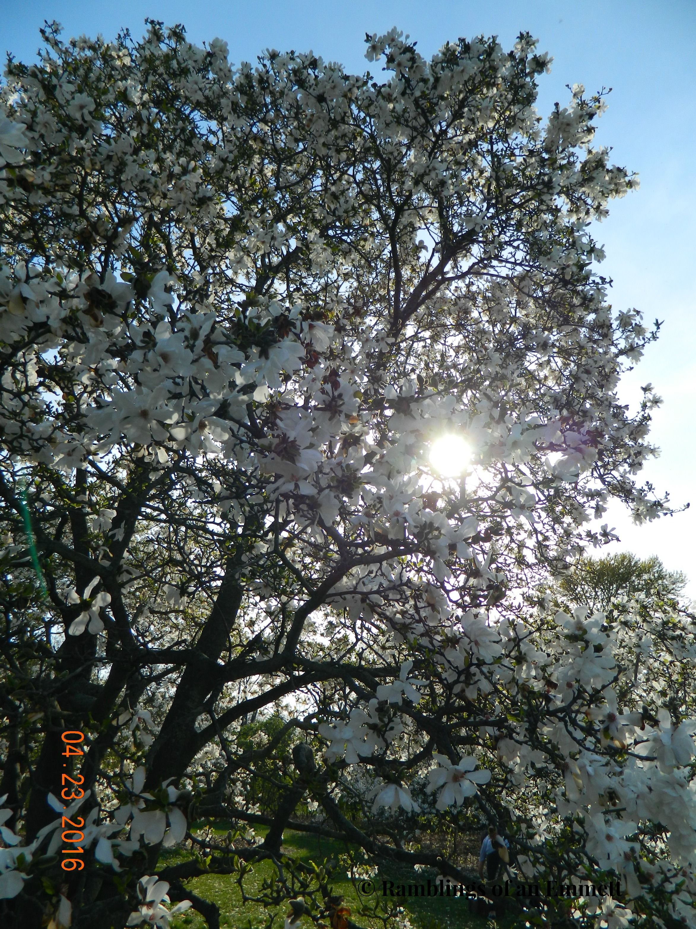 Magnolia Tree Uw Madison Arboretum Madison Wisconsin Random