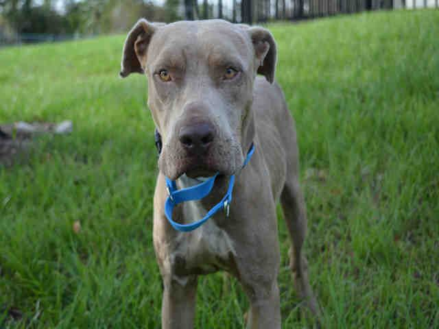 American Staffordshire Terrier dog for Adoption in Fort ...