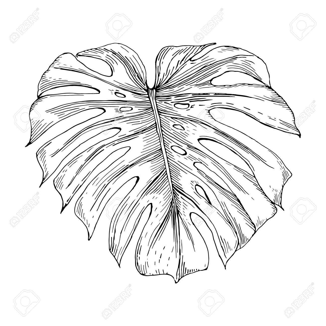 Vector vintage illustration of monstera leaf isolated on white. Hand drawn botan...#botan #drawn #hand #illustration #isolated #leaf #monstera #vector #vintage #white